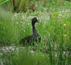 Cairina moschata / Pato real / Muskovy Duck | by felixú