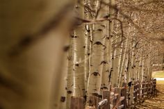 Row of aspen trees and a fence