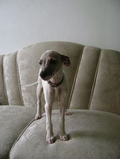 Whippet puppy... Becky I don't every remember Chevy this little!