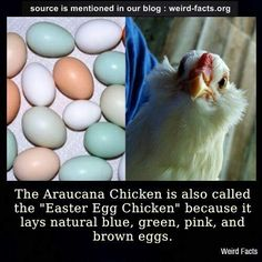 The Araucana Chicken! Colorful eggs awesome for Easter!