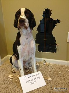 This Bad Dog ate the wall instead of his food, and the house was for sale. It was shown 3 times with the hole in the wall !