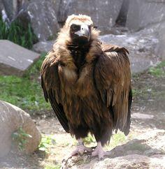 クロハゲワシ / Eurasian black vulture