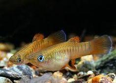 Brachyrhaphis holdridgei