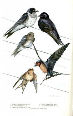 Animal - Bird - Martin - Purple martin