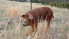 Red Wattle Hog Cross Yorkshire | Pigs With the Most Striking Appearances: The Top Ten Colorful Ones