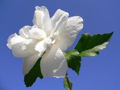 Double White Hibiscus syriacus (Rose of Sharon)