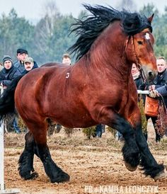 The Sokolski, Polish: Sokólski or Koń sokólski, is a Polish breed of draught horse. It is named for the town and county of Sokółka, near Białystok in north-eastern Poland, where it was first bred in the 1920s.It derives from cross-breeding of local Polish mares of Polish Coldblood type with imported Trait Belge and Ardennais stock.It is distributed mainly in the voivodeships of Lublin and Podlasie.It is clean-legged; the usual coat colour is chestnut