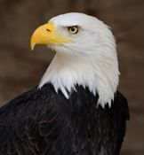Bird Trafficking Law Parsed in 9th Circuit | #courthousenews | #eagles #migratorybirds #birds #protection #trafficking #animals #laws #courts #MBTA