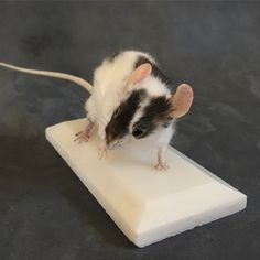 Taxidermy mouse by Precious Creature Taxidermy 2015