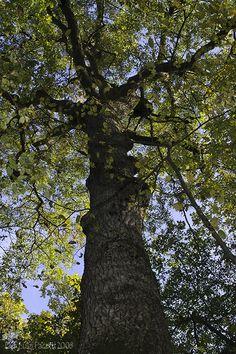 Quercus pubescens, roverella.