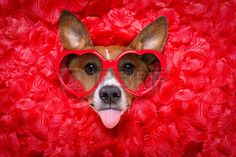 Picture of Jack russell dog looking and staring at you ,while lying on bed full of rose petals as background , in love on valentines day, sticking out tongue wearing funny glasses stock photo, images and stock photography. Jack Russell Dogs, Jack Russell Terrier, Valentine Dog, Staring At You, Jack Russells, Animal Portraits, Stick It Out, Dog Art, Rose Petals