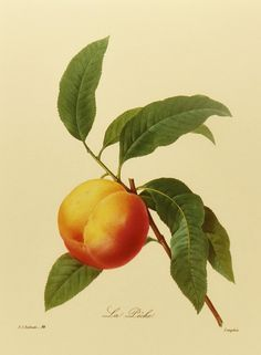 Vintage Peach Tree Botanical Fruit Print by Redoute (Marie Antoinette Court Artist) Plate No. 94