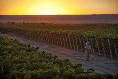 Angulo #Innocenti Vineyards - Argentina