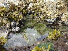 Based on the most-extensive set of analysis ever made in tide pools, research suggests that oceans becoming acidic will progressively put more and more marine organisms in danger by aggravating normal changes in ocean chemistry that happen overnight. The study conducted along California's rough coastline by Ken Caldeira and Lester Kwiatkowski from Carnegie shows that the most-affected organisms will be those with calcium carbonate shells or exoskeletons. Ocean Acidification, Tide Pools, Biomes, Make It Simple, Costa, California, Calcium Carbonate, Nature, Oceans