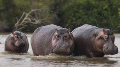 「hippo」の画像検索結果