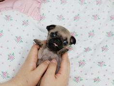 Miniature tea cup Pug Puppies | Mini Puggle Puppies
