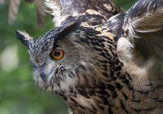 Eagle owl in approach
