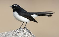 Willie wagtail. One of these visits my son's garden every day and keeps my baby grandson entertained for ages :)