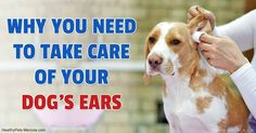 Chronic ear infections in dogs are common. Find out the three causes of ear inflammation in dogs and how you can treat and prevent it. http://healthypets.mercola.com/sites/healthypets/archive/2016/11/30/chronic-dog-ear-infection.aspx