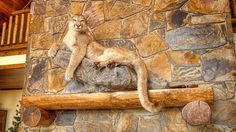 That Is One Saucy Taxidermied Mountain Lion - Curbed Taxidermy Decor, Taxidermy Display, Mountain Lion Hunting, Duck Mount, Deer Mounts, Deer Decor, Trophy Rooms, Thing 1, Duck Hunting