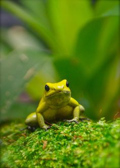 World's Most Poisonous Frog - The endangered Golden Poison Frog (by Mondmann)