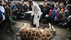 Visitors, including children, were invited to watch while the giraffe was then skinned and fed to the lions