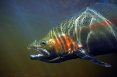 beautiful pics of trout | Beautiful steelhead rainbow trout photographed underwater
