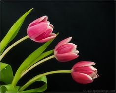 Spring Tulips  Ja-9