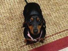 Piper Marie - NY. Adorable dachshund available for adoption with Furever Dachshund Rescue