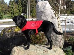 Medical Alert Service Dog helps keep teen with type 1 diabetes alive and well. He detects changes in the teens blood sugar levels alerts him saving his life on more than one occasion!