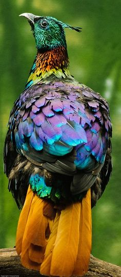 The Himalayan Monol Bird - an Iridescent Rainbow of Colors