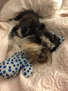 Rembrandt van Schnauzer resting up for his birthday tomorrow.