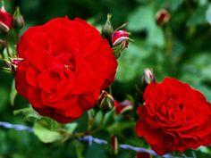 Deep Red Carnation-Wedding Flowers