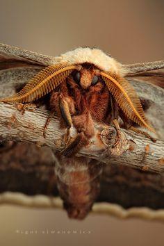Micro Photography Moth - Igor Siwanowicz #Moths #Bugs