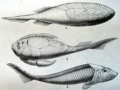 Devonian fishes. DEVONIAN periode ● began : 417 mill years ago - end : 354 mill years ago