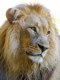 A nice portrait of the male lion by Tambako the Jaguar on Flickr.