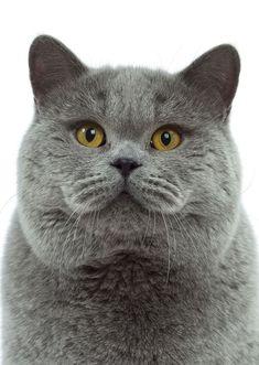 British Shorthair #Cat