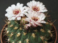 Gymnocalycium pflanzii, flowers