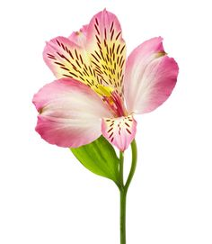 Alstroemeria-Otherwise known as Peruvian lilies, these long-lasting, attention-grabbing petals represent friendship and devotion, They're native to South America and feature multiple blooms per stem, which make for voluptuous arrangements. Perhaps best of all, they're easy to find in most neighborhood supermarkets.