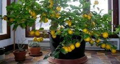 When you grow up in the North, the notion of growing citrus seems ridiculous. But it turns out, growing a lemon tree indoors is actually completely… Indoor Lemon Tree, Container Gardening, Gardening Tips, Lemon Tree From Seed, Lemon Plant From Seeds, How To Grow Lemon, Comment Planter, Tree Seeds, Plantation