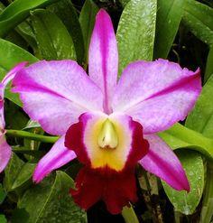 Inter-generic Orchid-hybrid Blc: BrassoLaelioCattleya Fatari 'Carmela'