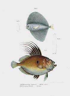 Leopold Fitzinger antique fish prints Naturgeschichte Der Fische 1864