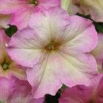 PETUNIA SOPHISTICA ANTIQUE SHADES (pellets)