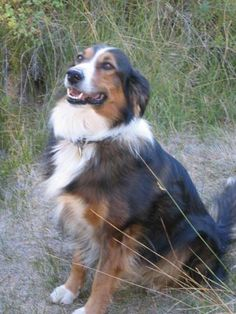 English Shepherd- America's Utility Dog. Looks just like my beautiful baby.