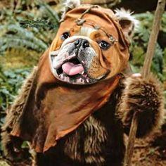 Bulldog ewok! #bulldogs
