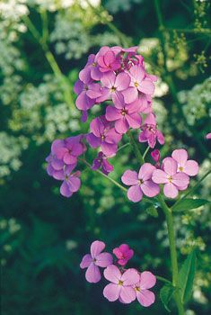 Worth growing for its delicious fragrance alone, dame's rocket also offers showy, long-lasting flowers and is as trouble-free an herb as you could ask for. data-pin-do=