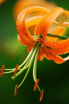 Tiger Lily in Orange and Green. Exotic Flowers, Orange Flowers, Amazing Flowers, My Flower, Beautiful Flowers, Dame Nature, Oriental Lily, Gras, Calla Lily