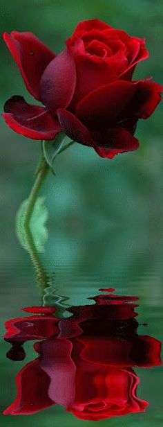 ✯ Red Rose Reflection