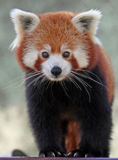 Many people admire the red panda for its charming, kitten-like face, cinnamon red fur, fluffy ringed tail, and astonishing agility.