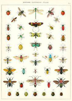 Een geweldig poster van Cavallini & Co met meer dan 50 verschillende insekten. Gedrukt op 80 grams papier met een lichte struktuur